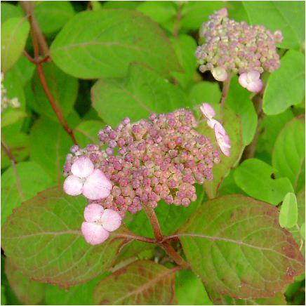 紅紫陽花(クレナイアジサイ)の花