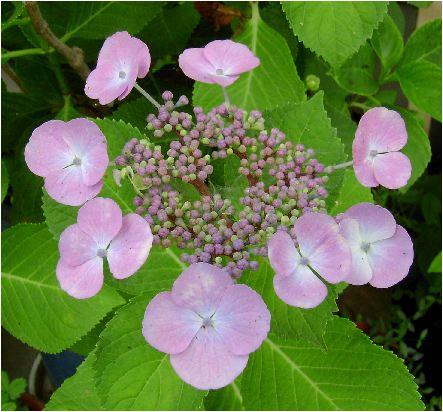 大虹:紫陽花(オオニジアジサイ)の花