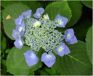 山顎紫陽花(ヤマガクアジサイ)の花