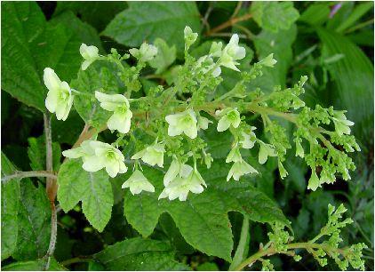 八重柏葉紫陽花(ヤエカシワバアジサイ)の花