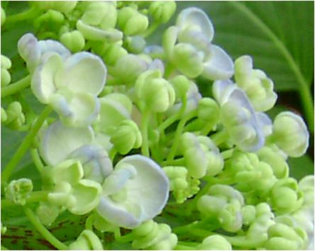 お多福紫陽花(オタフクアジサイ)の花