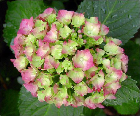 雪紫陽花(ユキアジサイ)の花