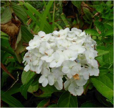 手毬白紫陽花(テマリシロアジサイ)の花
