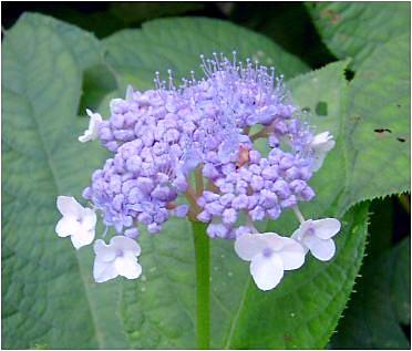 玉紫陽花(タマアジサイ)の花