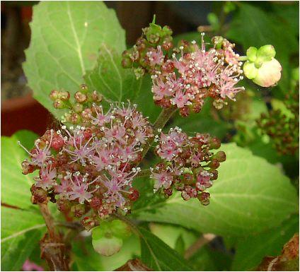 伊予の薄墨(イヨノウスズミ) の花