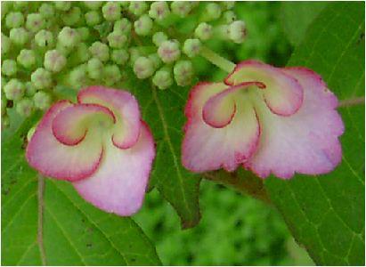 撫子顎紫陽花(ナデシコガクアジサイ)の花