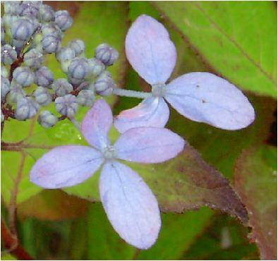 千姫(センヒメ)紫陽花