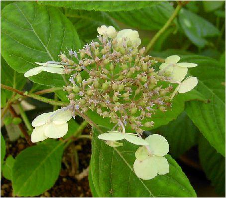 甘茶・紫陽花(アマチャ・アジサイ)の花