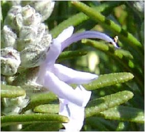 ローズマリー(Rosemary)の花