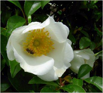 難波薔薇(ナニワイバラ)の花