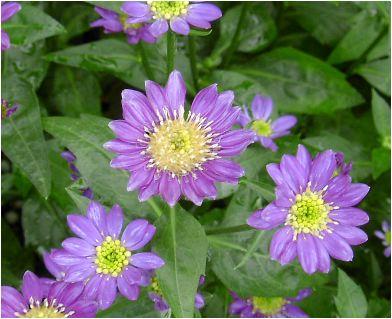 都忘れ(ミヤコワスレ)紫の花