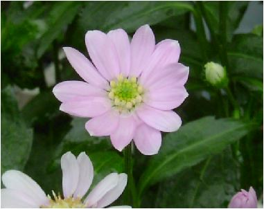 都忘れ(ミヤコワスレ)桃色の花