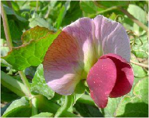 豌豆 (エンドウ)の花