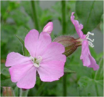 袋撫子(フクロナデシコ)の雌花