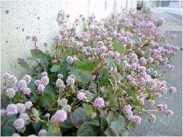 姫蔓蕎麦(ヒメツルソバ)の花