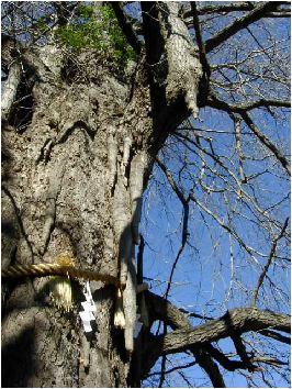 銀杏(イチョウ)の木