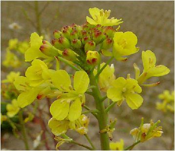 黄色のオンシジウム(Oncidium)の花