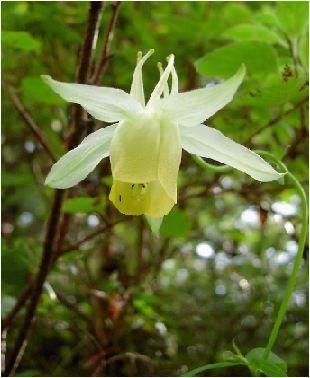 黄花の山苧環(キバナノヤマオダマキ)の花
