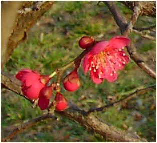 紅梅(コウバイ)の花