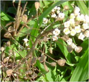 薺(ナズナ)の花と果実