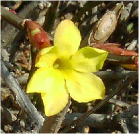 黄梅(オウバイ)の花