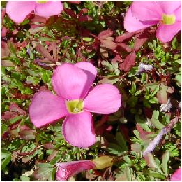 オキザリス・ヒルタ(Oxalis hirta )の花