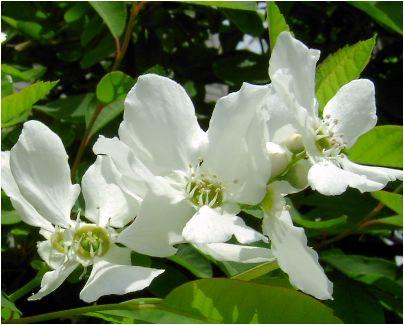 利久梅(リキュウバイ)の花