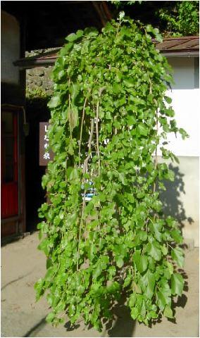 垂れ桑(シダレクワ)の木