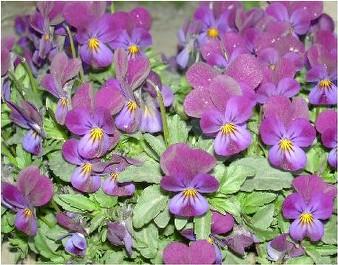 菫(スミレ)の花