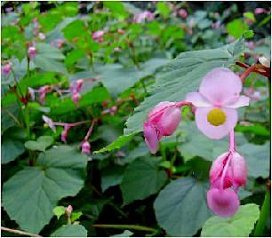 秋海棠(シュウカイドウ)の花