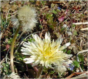 白蒲公英(シロタンポポ)の花