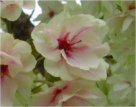 鬱金桜(ウコンサクラ)の花