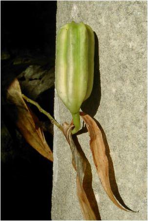 山百合の種