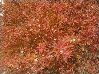 雪柳(ユキヤナギ)の花