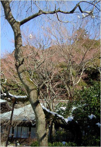新芽が弛む木