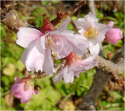十月桜(ジュウガツサクラ)