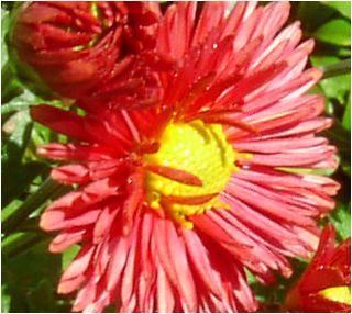嚥(えんじ)色の小菊