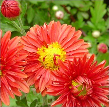 嚥(えんじ)色の小菊の花