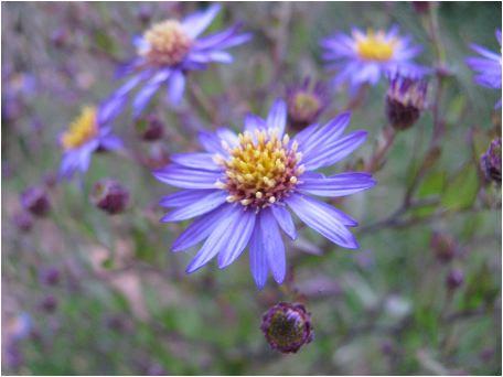 野紺菊(ノコンギク)の花
