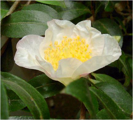山茶花(サザンカ・白)の花