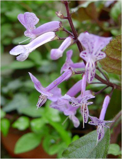 モナラベンダーの花