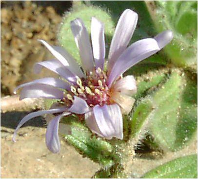 達磨菊(ダルマギク)の花