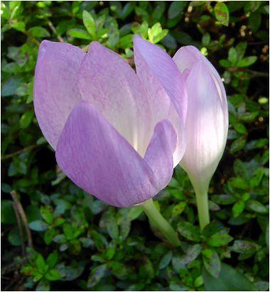 コルチカム(colchicum:イヌサフラン)