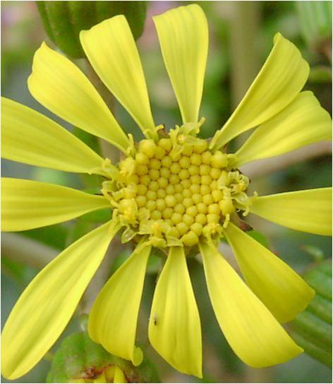 石蕗 (ツワブキ)の花