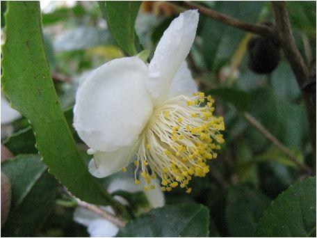 お茶の木(オチャノキ)の花
