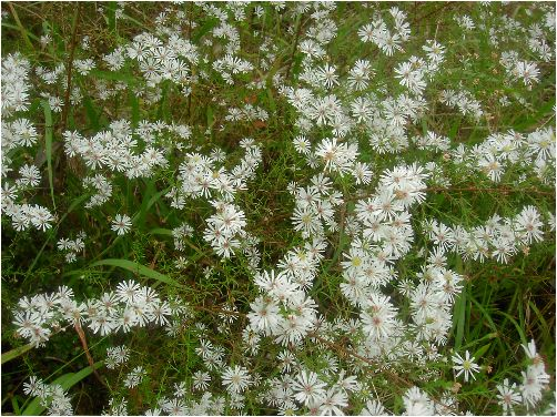 孔雀草(クジャクソウ)の花