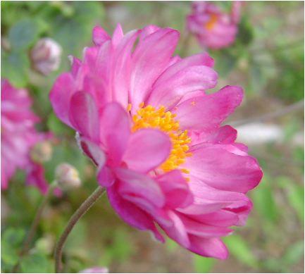 シュウメイキクのピンク八重の花