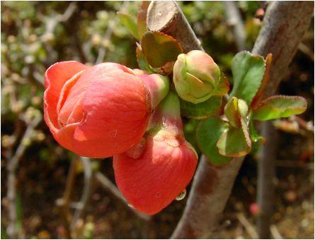 赤木瓜の花