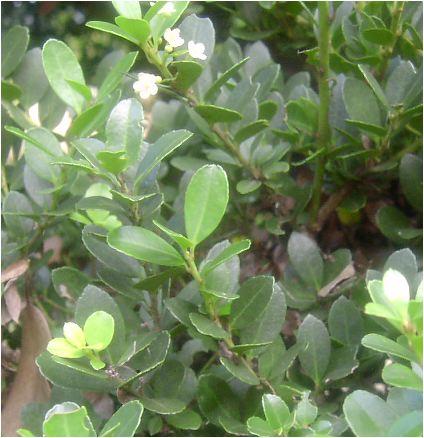 犬柘植(イヌツゲ)の花