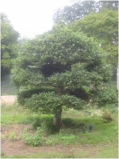 犬柘植(イヌツゲ)の雄木